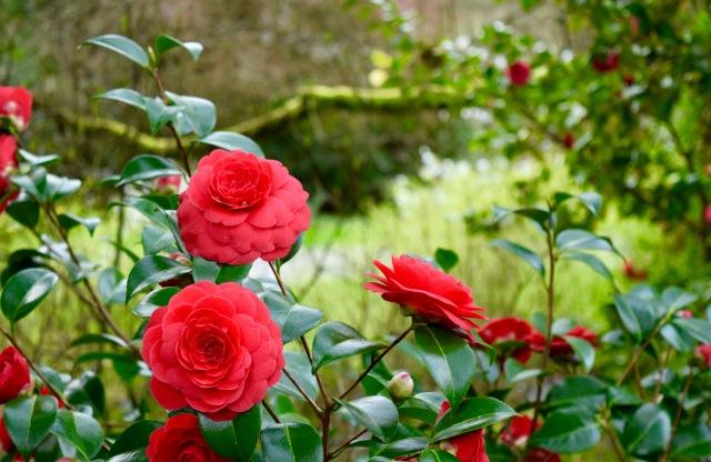 Camillas in Bloom | Land of Laurel