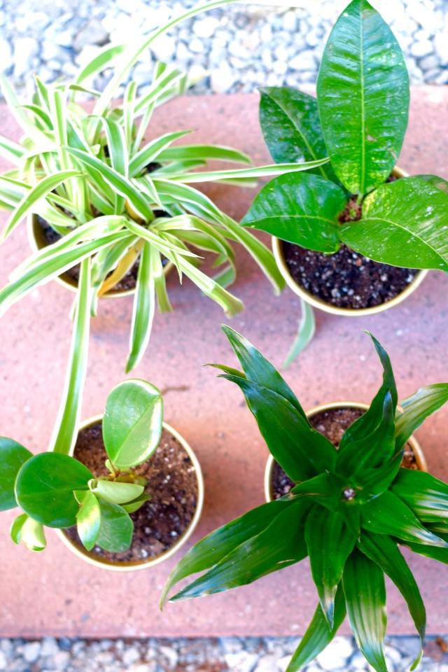 Plants Potted Gold   Land of Laurel